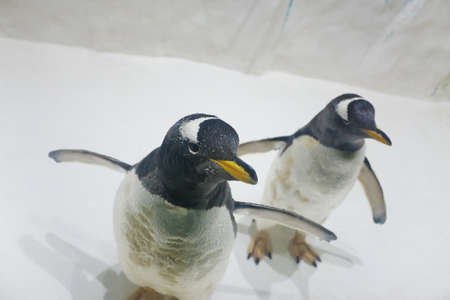 Two beautiful Gentoo penguins (Pygoscelis papua) at zoo on a ice background