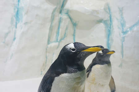 Pair of beautiful Gentoo penguins (Pygoscelis papua) at zoo on a ice background