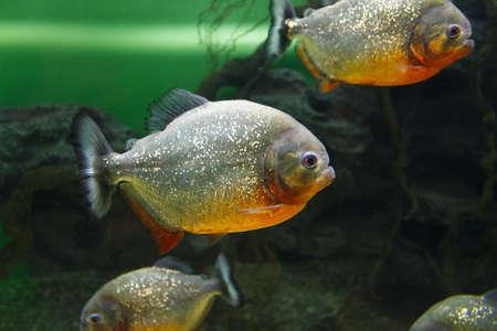 Schule der Rotbauchpiranha (Pygocentrus nattereri), in ihrem Lebensraum auch als Roter Piranha bekannt Standard-Bild