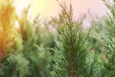 Forest from green branches of juniperus virginiana (red cedar or eastern redcedar or virginian juniper or eastern juniper or pencil cedar) in sunlight.