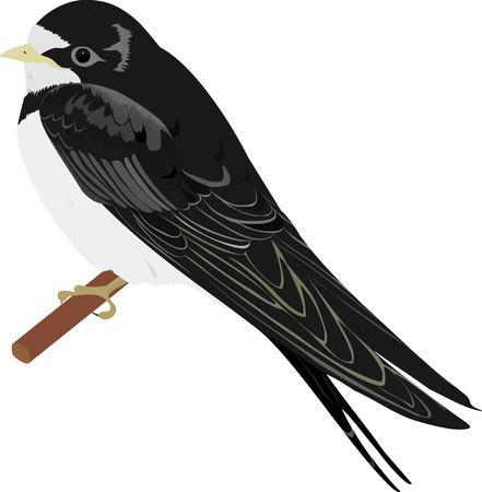 vertebrate: swallow. isolated on white bird sit on twig Illustration