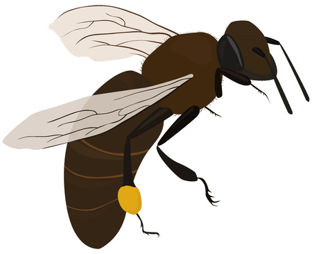 pollination: isolated brown bee in fly with pollen on legs Illustration