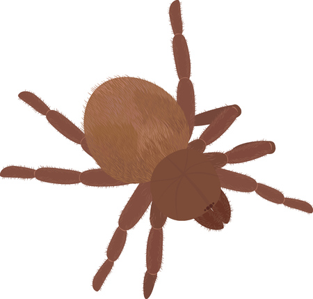 arthropoda: Big brown spider Tarantula isolated on white Illustration
