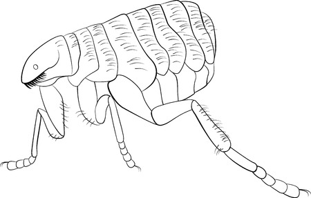 plague: Black and white vector sketch illustration of flea