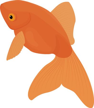 carassius auratus: Carassius auratus. Gold Fish isolated on white