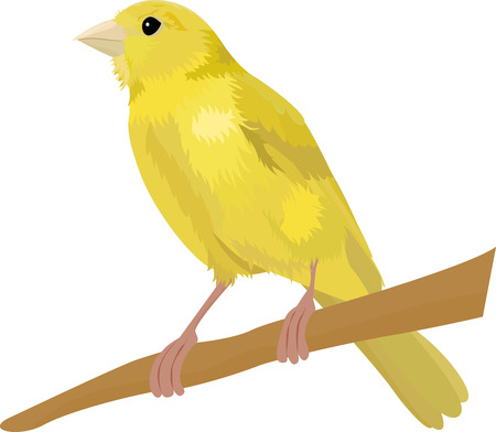 Canary yellow bird vector illustration Isolated on a white background