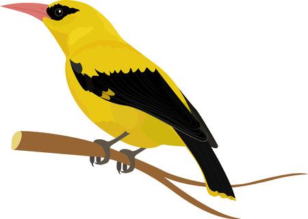 Oriole yellow bird vector illustration cartoon style isolated on white