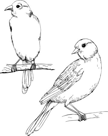 Canary vector monochrome freehand ink drawn sketch style illustration. Hand drawn bird