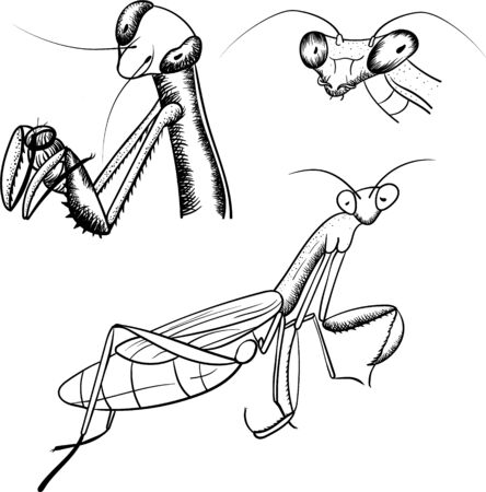 Praying Mantis Sketch iIsolated On White