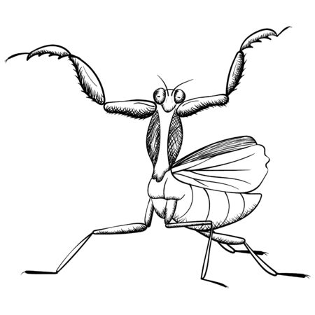 praying mantis vector hand drawing. monochrome contour illustration of insect, isolated on white Vettoriali