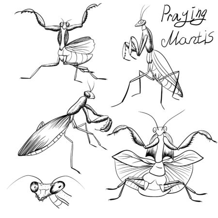 set of outline mantis sketches. praying mantis hand-drawing. Insect monochrome black contour line illustration isolated on white