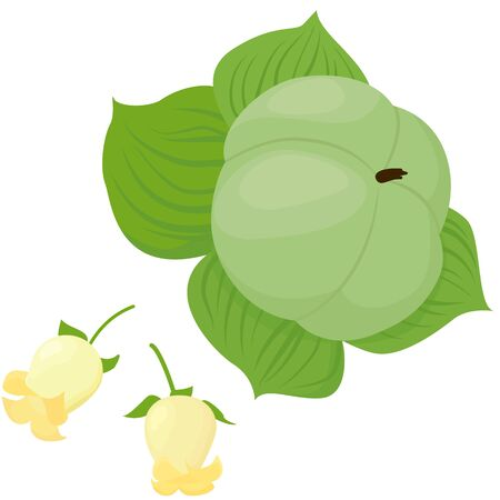 unripe persimmon and persimmon flower 일러스트