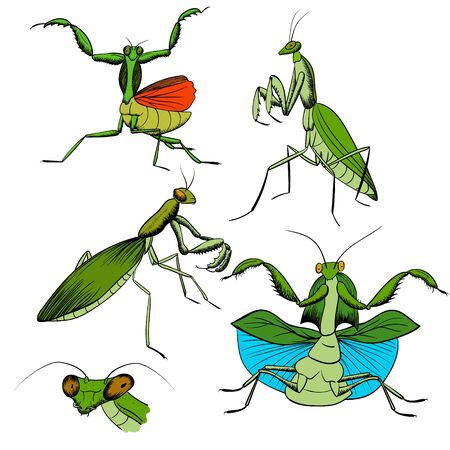 set of hand-drawing mantis insects. green praying mantis with black outline isolated on white. vector stock illustration