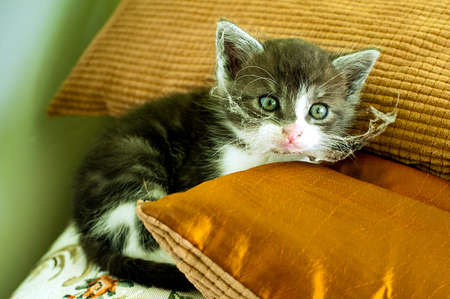 harmless: dirty little cat with dust and spiders web at whiskers  Cat sitting at couch and pillows