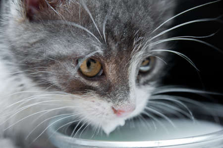 Close up of hungry cat with whiskers drinking milk  White, grey kitten licking milk  Black background