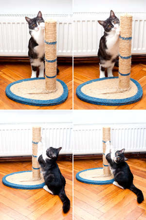 house cat: Cat scratching the rope cat post  Kitty sharpen claws  Cat sharpening claws using cat tree