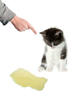house pet: Illustration of cat peeing at home problem  Hand scold peeing cat  Stock Photo
