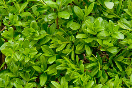 hedgerow: close up of green privet hedge twigs with leafs