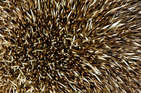spikey: close up of hedgehog spikes Stock Photo