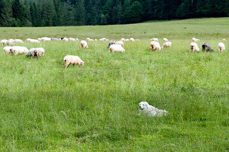dog at green mountain meadow guarding sheep photo