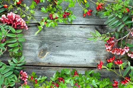 autumn background - hawthorn, briar and   rowan at dark planks photo