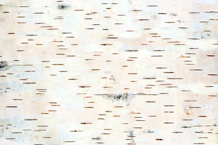 白樺ツリーの樹皮詳細のクローズ アップ