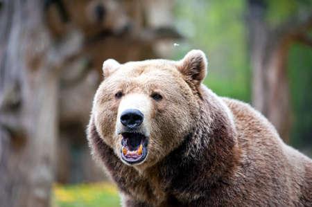 夏時に森でヒグマを轟音 写真素材