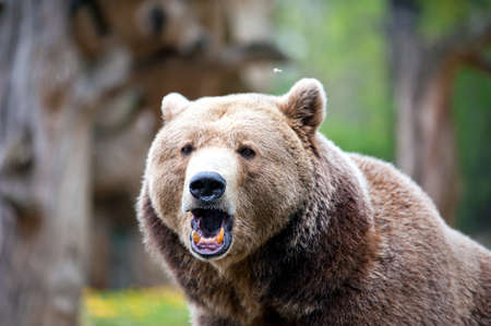 animal head: roaring brown bear in forest at summer time Stock Photo