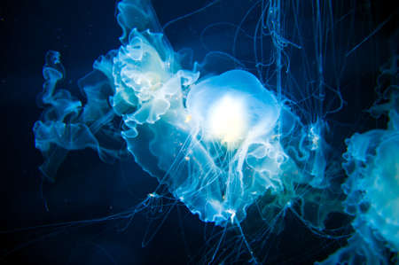 plancton: medusa transparente con larga trayectoria tentáculos urticantes Foto de archivo