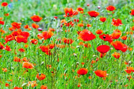 poppy: amapolas rojas de fondo Foto de archivo