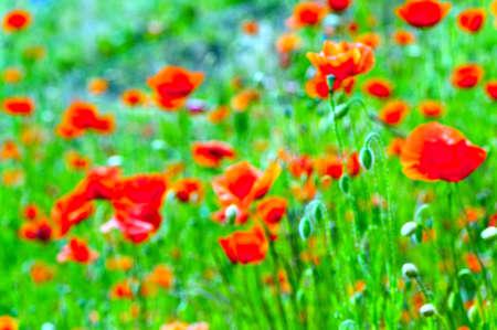 blurr: blurred poppies background or texture