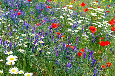 wildflowers: fiori colorati prato