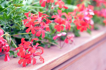cascading: red cascading geraniums on the wooden terrace in flowerpot Stock Photo