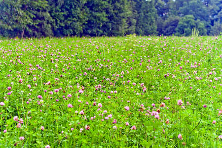 Flowering clover wildflowers in green meadow on sunny day.