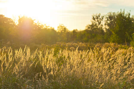 tall: Autumn sunset in the countryside with long eared grass in the foreground.
