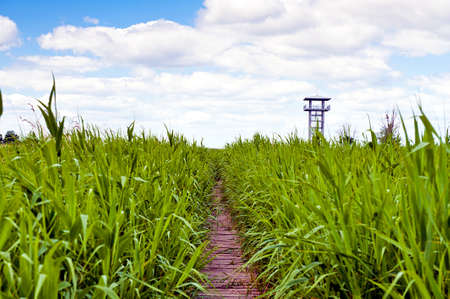 Swamp area covered in swamp grass with wooden path leading to look out platform to study wildlife in this habitat blue sky and white cloud - Scenic Park of Przemkow, Poland Stock Photo