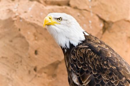 Evil look of a bald eagle