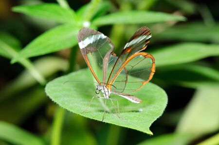 Closeup of fragile butterfly on a leaf  Stock Photo