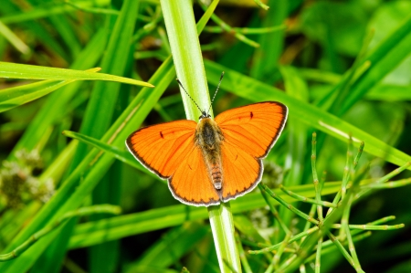 Large copper butterfly ona a leaf