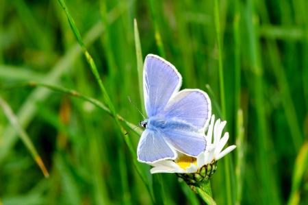 Silver-studded blue  Plebeius argus