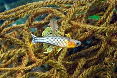 spawning: Cr�a de Pseudomugil gertrudae Aru el desove trapeadores Foto de archivo