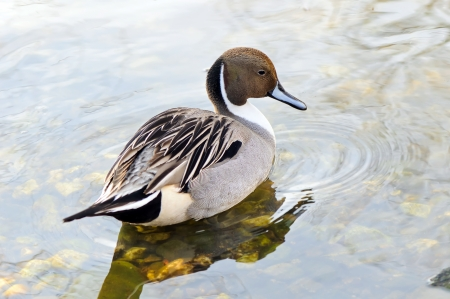waterbird: Male of northern pintail  Anas acuta  in its habitat Stock Photo