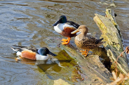 Female and two males of northern shoveler  Anas clypeata  in their habitat photo