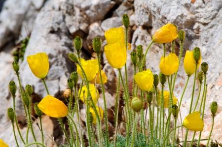 Closeup of alpine poppy  Papaver alpinum
