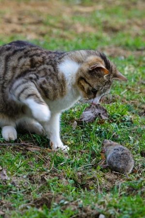 Cat is catching a field vole  Microtus agrestis  Hungry cat