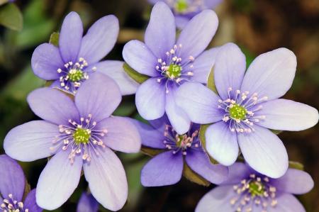 Spring flowers � Hepatica  Hepatica nobilis  Stock Photo