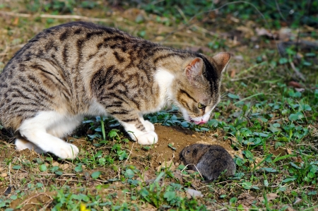 Hungry cat is catching a tasty field vole  Microtus agrestis