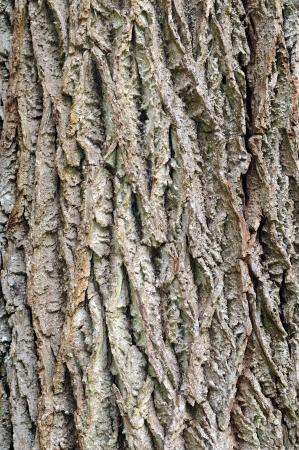 Close up of black walnut bark  Juglans nigra    Stock Photo