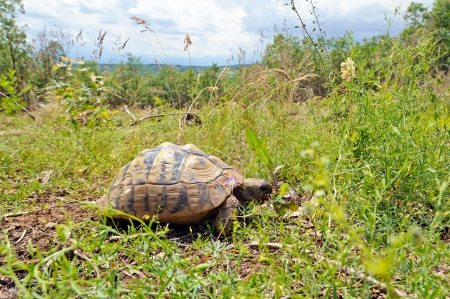 Wild Hermann s tortoise in its natural habitat  Stock Photo