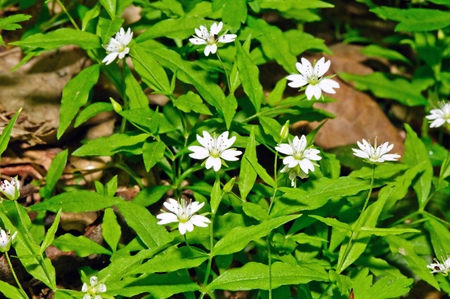 European false stitchwort  Pseudostellaria europaea  photo